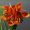 Thumbnail: Box = 6 Mini Calla Lily Bundle w/Raffia 14""