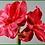 "Thumbnail: Box of 6 Amaryllis 28.5"""