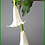 Thumbnail: Box = 6 Angel Trumpet 49""