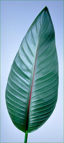 Box = 12 Bird of Paradise Leaf Large 36""
