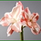 Thumbnail: Box of 6 Amaryllis 28.5""