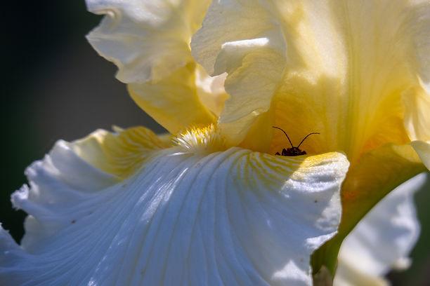 bug in flower-1.jpg