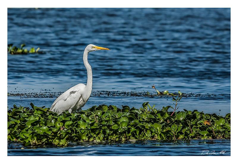 Egret on blue water