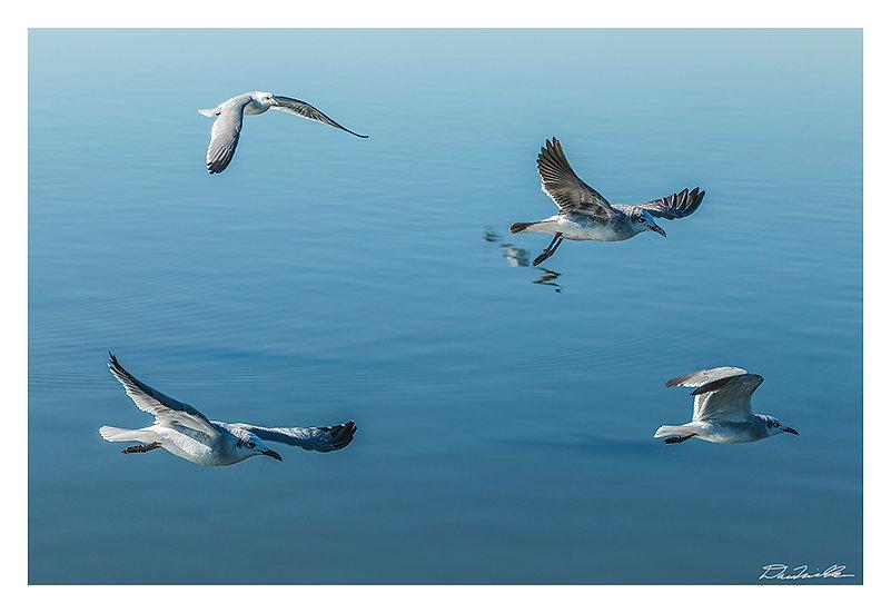 Gull Quartet
