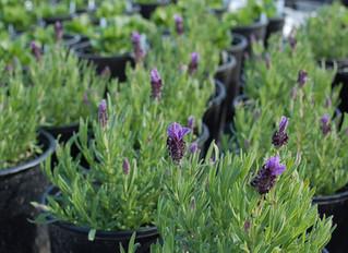 Lavender stoechas 'Bandera Purple'