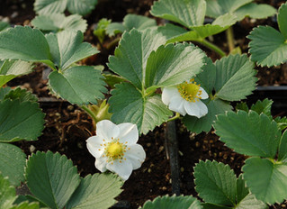 Strawberry: Fragaria x ananassa