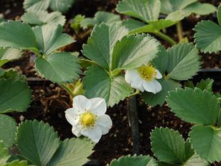 Strawberry: Fragaria x ananassa