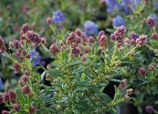 Ceanothus 'Concha' (California Lilac)