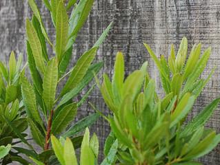 Myrica californica Pacific Wax Myrtle