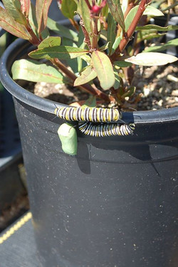 Monarch Caterpillers & Chrysalis