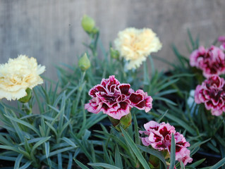 Dianthus caryophyllus 'Odessa Yellow Bling Bling' and 'Odessa Pierrot'