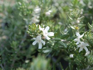 Westringia fruticosa 'Coast Rosemary'