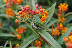 Asclepias with Monarch caterpillar