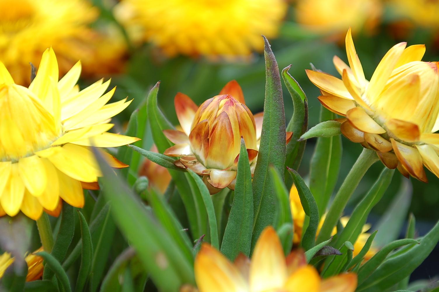 Bracteantha bractea Cottage Yellow 008