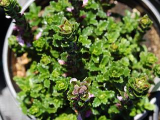 Teucrium chamaedrys 'Germander'