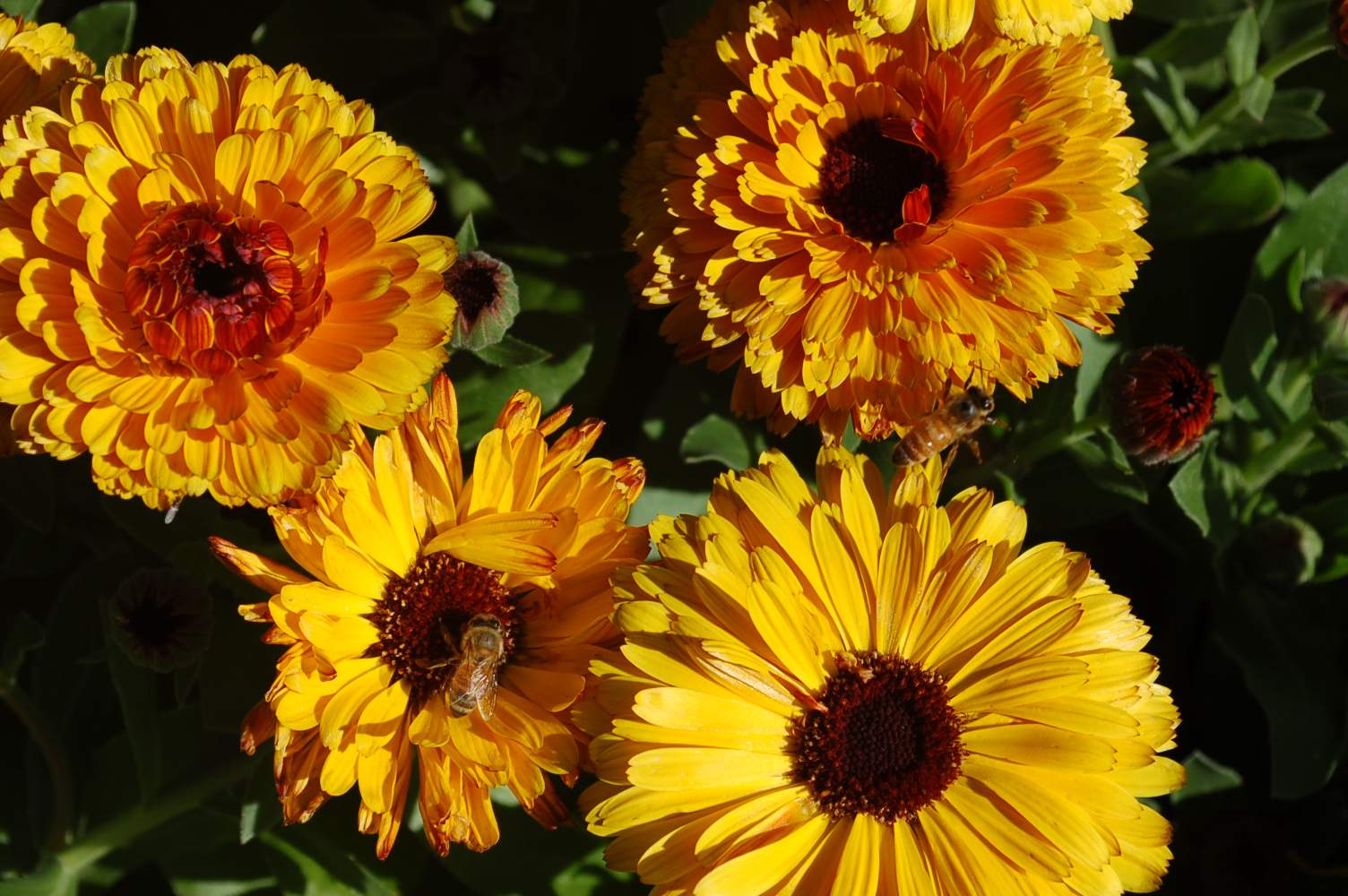 Calendula 'Touch of Red Yellow'