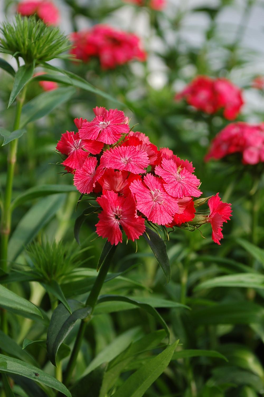 Dianthus barbatus 'Sweet Coral'