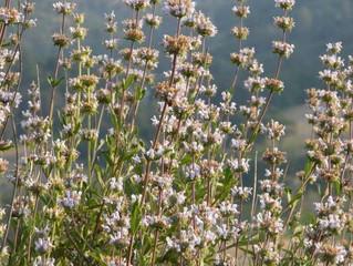 Salvia mellifera 'Black Sage'