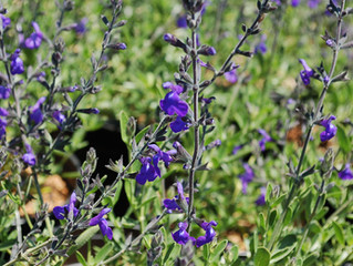 Salvia greggii 'Blue Note' (Autumn Sage)
