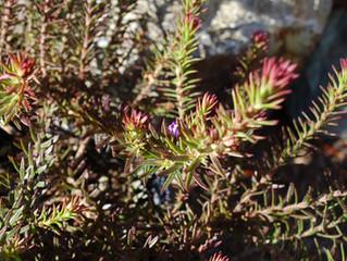 Eremophila densiflora