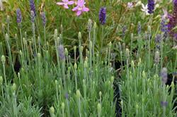 Lavandula angustifolia Blue Spear 007
