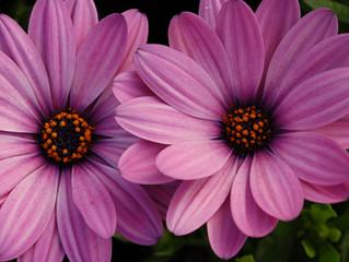 Osteospermum 'Serenity'™ Series (African Daisy)