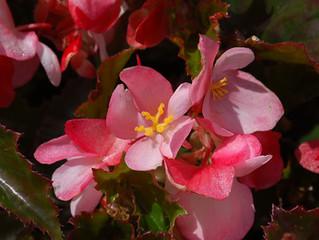 Begonia 'Richmondensis' (Shrub Begonia)