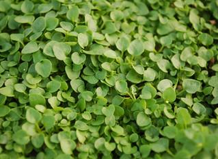 Mentha requienii 'Mini Mint'