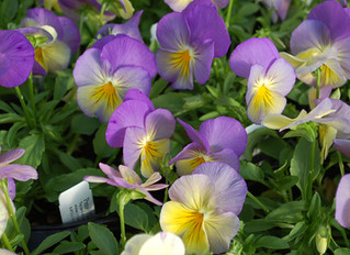 Pansy 'Cool Wave®' Spreading  (Viola x wittrockiana)