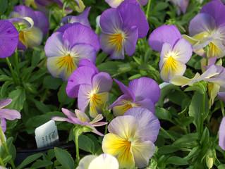Pansy 'Cool Wave®' Spreading  (Viola x wittrockiana)