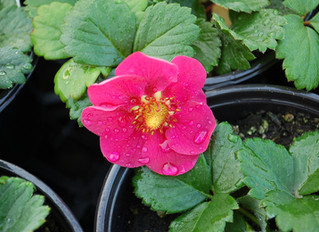 Strawberry 'Roman Pink', 'Toscano Deep Rose' & 'Summer Breeze Deep Rose' (Fragaria x ananassa)