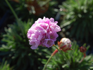 Armeria alliacea 'Sea Pink'
