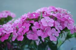 Dianthus interspecific Jolt Pink Magic 0