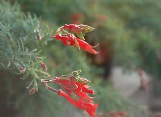 Epilobium canum 'Hollywood Flame' (Zauschneria canum)