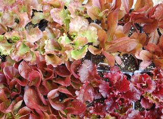 Lettuce Red-leaf Varieties