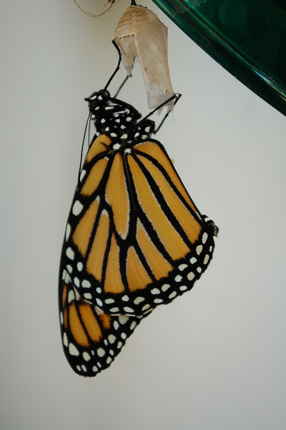 Newly hatched Monarch