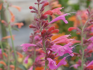 Agastache mexicana 'Forever Summer Berry' & 'Forever Summer Melon'