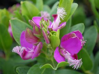 Polygala myrtifolia 'Grandiflora' (Sweet Pea Shrub, Myrtle-leaf Milkwort)