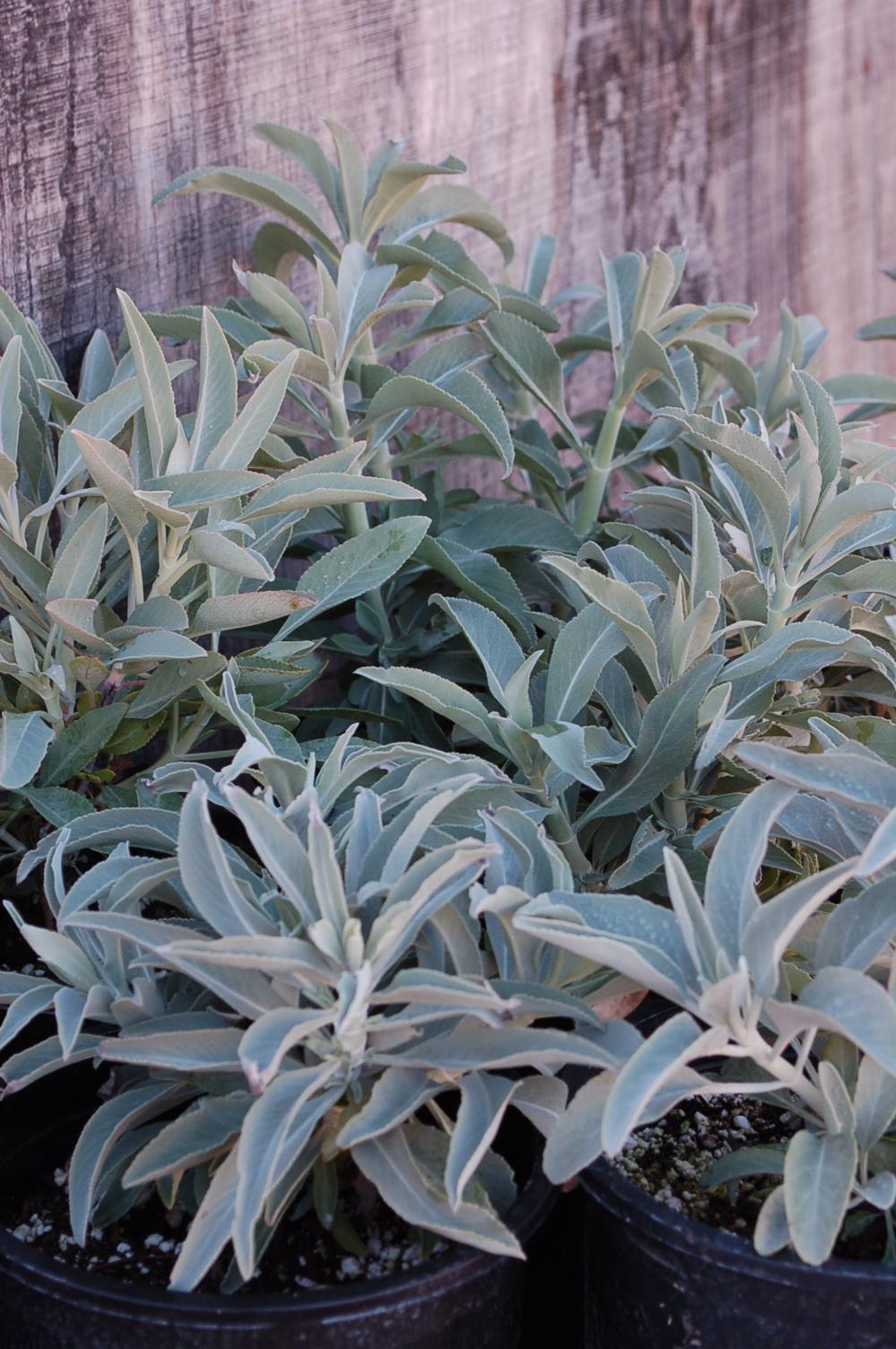 Salvia apiana White Sage 011