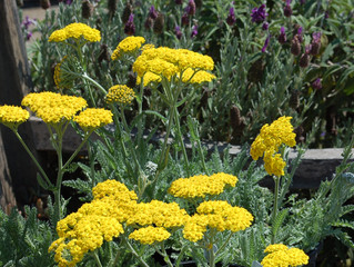 Achillea millefolium 'Little Moonshine' (Yarrow)
