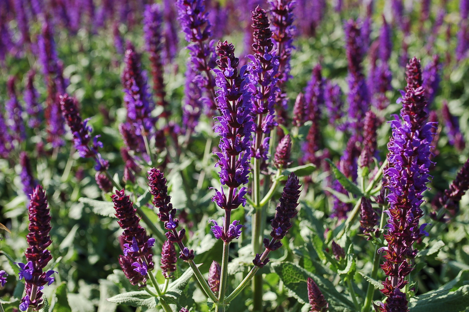 Salvia nemorosa Lyrical Blues 005