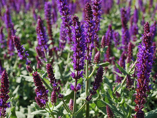 Salvia nemorosa 'Lyrical™ Blues'