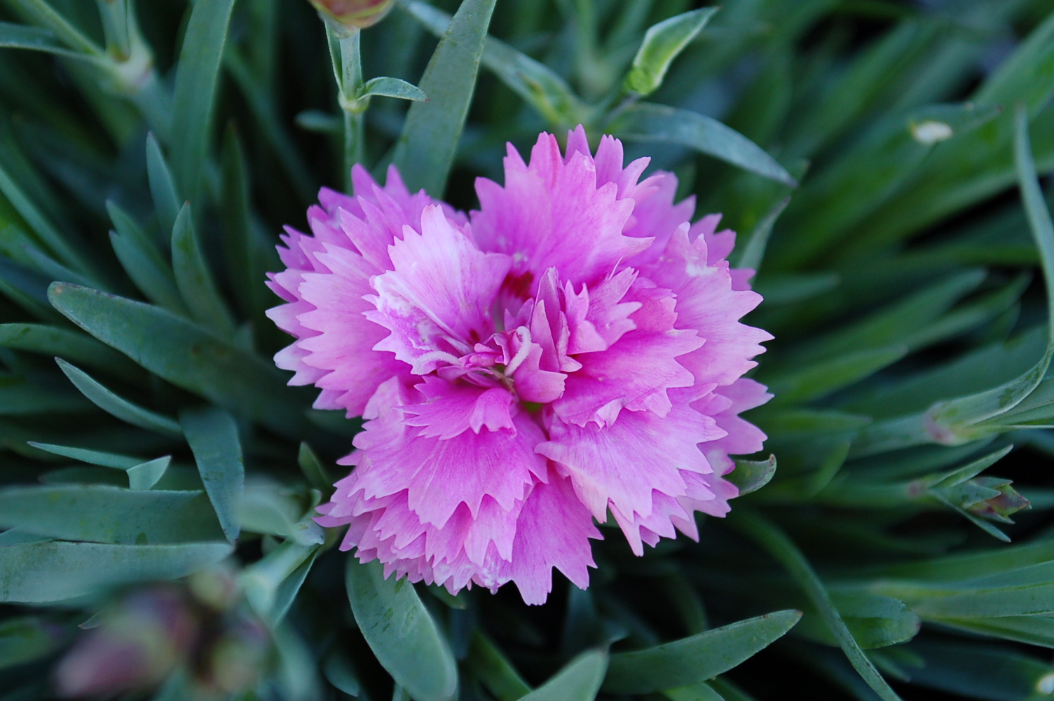 Dianthus interspecific Everlast series 0