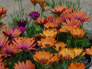 Osteospermum ecklonis, Astra 'Orange Sunrise', 'Terra Cotta', & 'Serenity Bronze'