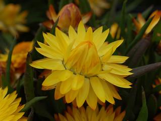 Bracteantha bractea 'Cottage Yellow' (Strawflower)