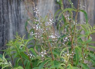 Aloysia triphylla 'Lemon Verbena' (Aloysia citrodora, Lippia citriodora)