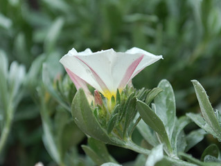 Convolvulus cneorum 'Bush Morning Glory' (Silver Bush)