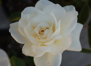 Rosa 'Iceberg' Shrub Rose