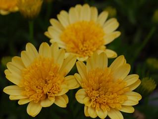 Osteospermum '4D' Series (African Daisy)