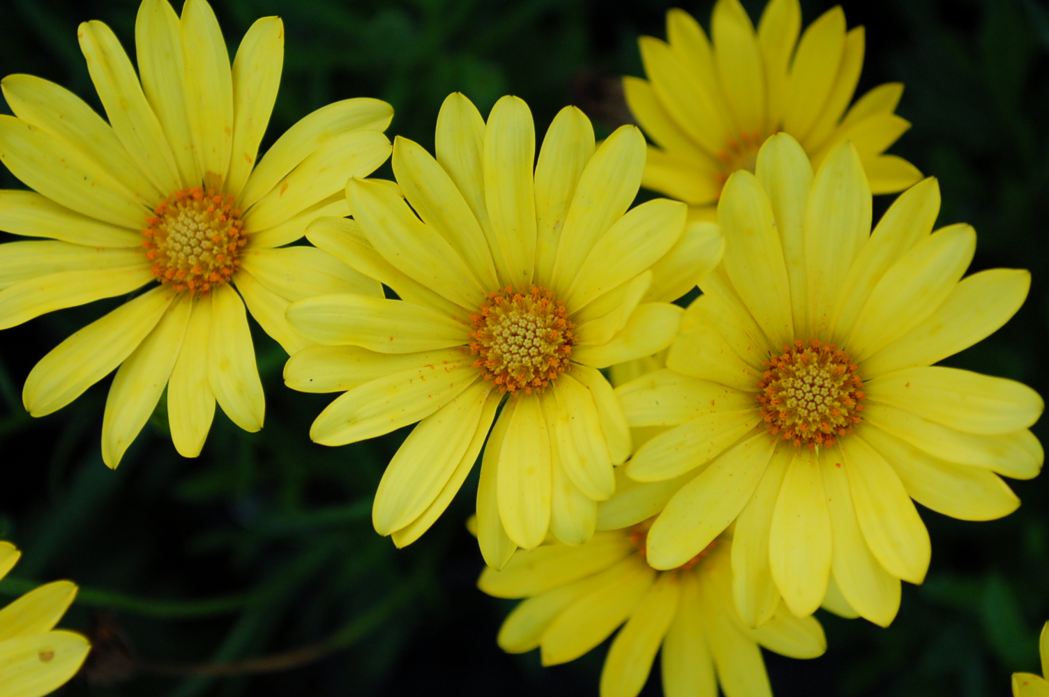 Osteospermum Voltage Yellow 004